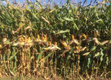 Un gain de 200 euros à l'hectare avec le maïs hybride m3 ! © Pioneer