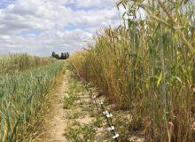 Le séquençage du blé qui vient d'être publié devrait accélérer l'amélioration variétale. CP : Inra Christophe Maitre