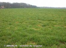 Jaunisse nanisante : Arvalis mène l'enquête. © Arvalis - Institut du végétal