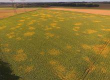 Les pucerons verts sont vecteurs de la jaunisse virale. Crédit : ITB