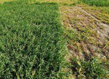 Semis précoce d'orge sensible sans protection insecticide (à droite ): nuisibilité élevée de la JNO comparativement à la situation avec protection (à gauche)