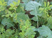 La gamme de plantes compagnes de Caussade Semences s'étoffe pour les prochains semis de colza avec Symbio VF.Couv, mélange de vesce érigée et de fenugrec, caractérisé par une grande gélivité. © Caussade Semences