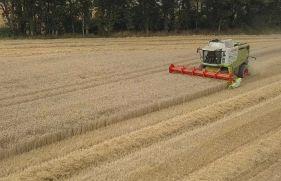Récolte de blé hybride. Crédit photo : Négoce Drouet