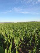 Maïs à huit feuilles souffrant de la sécheresse. Crédit Photo : Marie-Thérèse Gässler