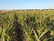 Maïs souffrant de la sécheresse. Crédit photo : Marie-Thérèse Gässler