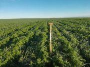Couvert végétal sur prébuttage d'été en prévision de pommes de terre implantées en direct. Crédit photo : Fabien Monte