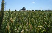 La fusariose de l'épi de blé est une maladie courante des céréales à paille, causée par deux principales espèces : F. graminearum et F. culmorum. Responsable de perte de rendement, ce champignon produit aussi des mycotoxines rendant impropres les grains à la consommation. Photo : M.Blondiaux/Pixel image