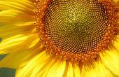 LG semences : dix nouvelles variétés de tournesol. © E. Thomas/Pixel Image
