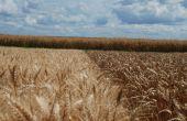 Les blés panifiables ont la cote, Rubisko en tête. © C. Poulain/Pixel image