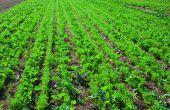 Le colza associé à une légumineuse (ici de la lentille) entraîne une plus grande quantité d'azote dans le colza. © Pixagri