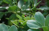 La féverole est l'un des protéagineux dont le potentiel des nouvelles variétés a beaucoup progressé. © Pixel6TM