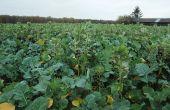 1,5 kg/m2 est le poids frais de colza à viser à l'entrée du repos végétatif de l'hiver pour être certain d'être en présence d'un colza robuste. Une levée avant le 1er septembre est déjà un premier indicateur favorable. © Pixel6TM