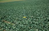 Normandie/ Île-de-France Ouest : les colzas ont produit 20 à 50% de biomasse en moins. © C. Milou/Pixel Image