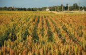 Montée en puissance de la culture de sorgho en France.© M.Barbier/Pixel image
