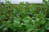 Incorporé dans un couvert, le colza peut très bien devenir la culture principale s'il est suffisamment bien implanté. ©Pixe6TM