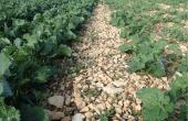 Crédit Dekalb. Essais à Poitiers d'un décalage de semis d'une semaine