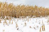 Dans le Nord des États-Unis, defortes chutes de neige précoces vont empêcher les producteurs de terminer leurs récoltes. © JJ Gouin/Adobe Stock