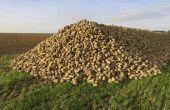 Indemnisations des producteurs de betteraves impactés par la jaunisse. ©Rayman7/Adobe Stock