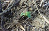 attaque de plantule de colza par une limace © DeSangosse