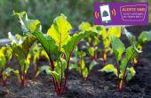 L'institut technique de la betterave (ITB) propose aux producteurs de betteraves à sucre un nouveau service d'alerte en cas de risque sanitaire.