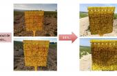 La pression en pucerons sur pommes de terre lors de la saison 2020 est l'une des plus importantes jamais observée par les deux associés de Phytosol. Crédit photo : Phytosol