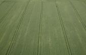Parcelle de blé hybride