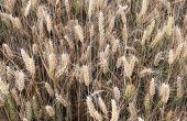 Photo : ®Certis Europe. Symptômes sur blé dur à Lignac (Indre) – 10 juin 2020