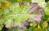 """Le virus de la jaunisse du navet (TuYV pour """"turnip yellow virus"""" en anglais) est transmis principalement par le puceron vert du pêcher à l'automne. Photo : Limagrain Europe"""