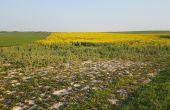 Les outils d'évaluation préconisent une intervention insecticide si le contexte de la parcelle est jugé peu favorable au développement du colza (faible biomasse en entrée d'hiver, peu de disponibilité de l'azote, etc.). Crédit Photo : Julie Sandri