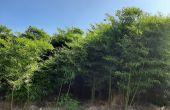 Selon les variétés sélectionnées, les chaumes de bambou peuvent atteindre 12 à 20 mètres de hauteur et 8 à 15 cm de diamètre. Photo : OnlyMoso