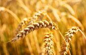 Vers des blés durs résistants à la mosaïque. © Eivaisla/Fotalia