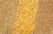 Les surfaces de multiplication de maïs et de céréales à paille sont en baisse.© Freestocker/Fotolia