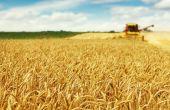 Statu quo pour le blé, les bilans orge et maïs s'allègent. © Dickov/Fotolia