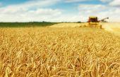 Une production mondiale de blé attendue en baisse. © Dickov/Fotolia