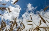En France, les céréales à paille affichent toujours un très bon potentiel, même si la pression maladie est bien présente. © Rostyle/Fotolia