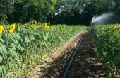 L'irrigation du tournesol dans les sols superficiels et intermédiaires assure une meilleure marge brute.