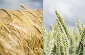 Juventus, produit de biocontrôle en fongicides céréales. © BASF