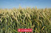 LG Absalon est un blé demi-précoce productif, inscrit 1re lignée à 110,1% des témoins Sud. © LG Céréales