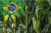 Au Brésil, Safrina : les surfaces de maïs en hausse. © Sidneydealmeida et Olga Altunina/Fotolia