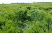 Composé de prohexadione et trinexapac, le régulateur de croissance Medax® Max est homologué sur blés, orges, avoines et triticales. © BASF