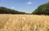 Début juillet, 5 000 m² d'orge brassicole ont été moissonnés à Paris, en plein cœur du bois de Vincennes. © Brasseurs de France