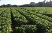 À l'horizon de 10 ou 15 ans, il n'est pas impossible que la majorité des pommes de terre soient produites snas phytos. Explication de l'Inrae et des producteurs de plants.