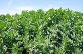 La solution de piégeage élaborée par Agriodor est efficace contre la bruche des féveroles.
