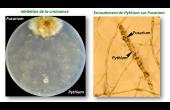 Polyversum, nouveau fongicide d'origine naturelle pour blé et colza.