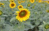 Avant d'être en fleur, la réussite du tournesol se joue dans ses premiers stades.