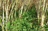 Trèfle violet sous le colza au moment de la récolte- Agro d'Oc